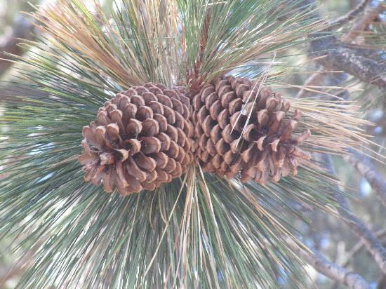 Pine Cone Resort: giant pine cones everywhere