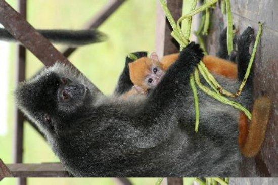 Labuk Bay Proboscis Monkey Sanctuary: How cute!