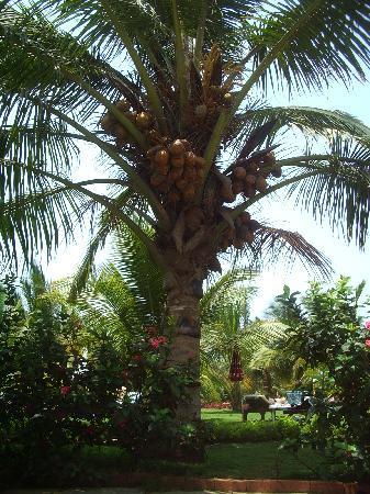 Santana Beach Resort: Coconut palm in the santana gardens