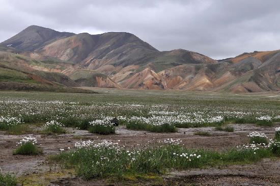 Reykjavik Excursions - Landmannalaugar & Saga Valley Tour: Wollgras