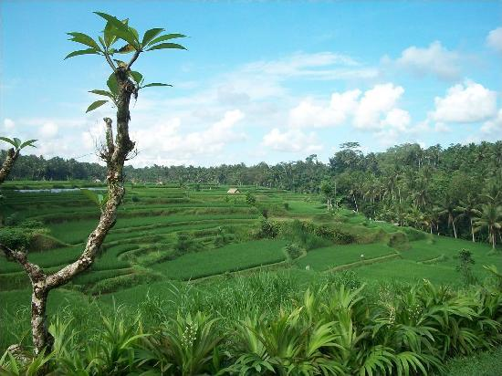 Villa Semana: the rice paddy view