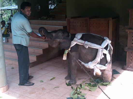 Pinnawala, Sri Lanka: Baby elephant