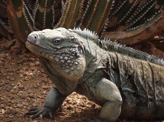 Indianapolis Zoo : iguana