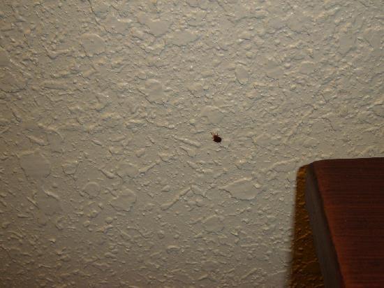 Ashburn Inn: A bedbug I didn't kill