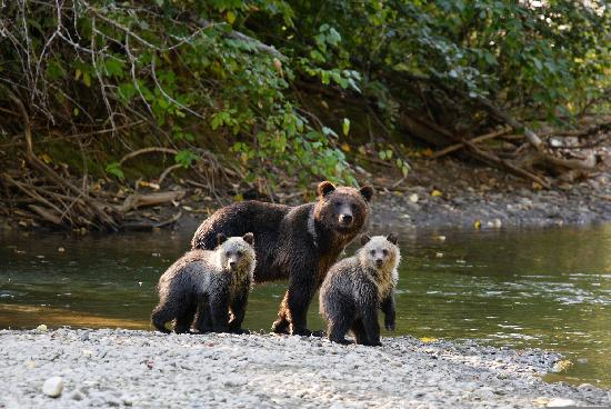 Bears in Bella Coola