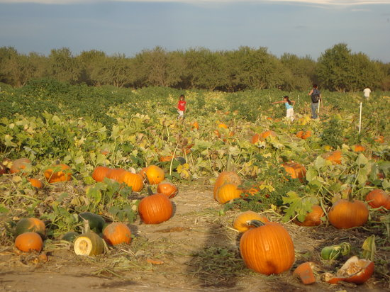 Wheatland, Kalifornie: Pumpkin Patch