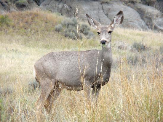 Theodore Roosevelt National Park: Mule deer