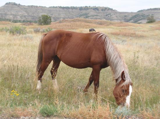 Theodore Roosevelt National Park: Wild horse near the road
