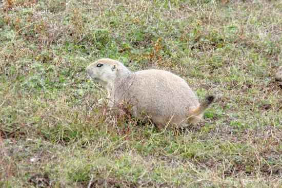 Theodore Roosevelt National Park: Prairie Dogs were everywhere!