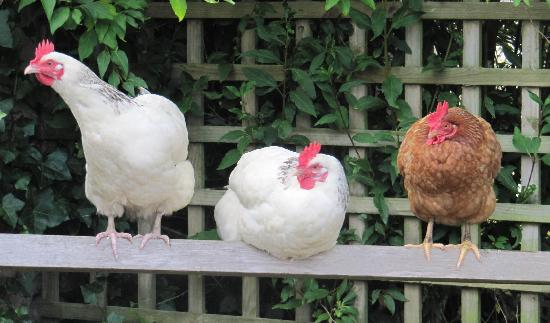 Plas Efenechtyd Cottage B&B: The resident hens: providers of eggs