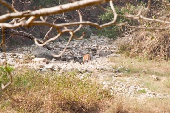 Jim Corbett National Park, Indie: one of two tigers we saw - both at great distance, but nonetheless breathtaking
