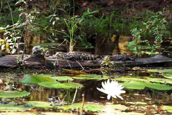 Cypress Gardens: Baby alligators from our boat