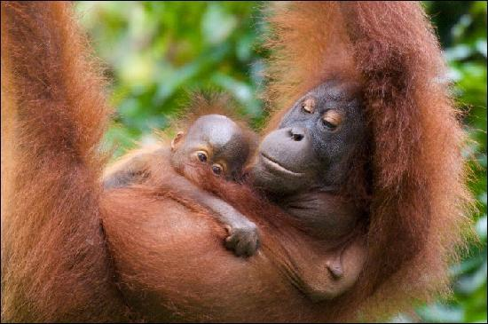 Orang Utan Sanctuary: Mum and Baby