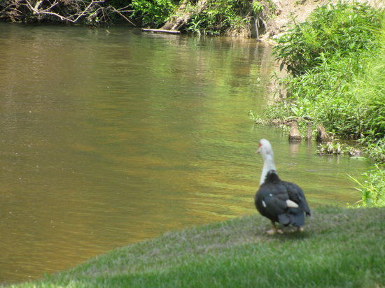 Tchefuncte Campground : Another shot of a duck by the river