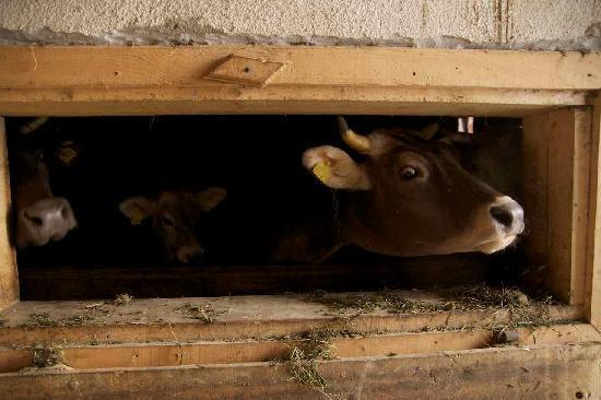 Pensiunea Teodora Teleptean: Their milk cows