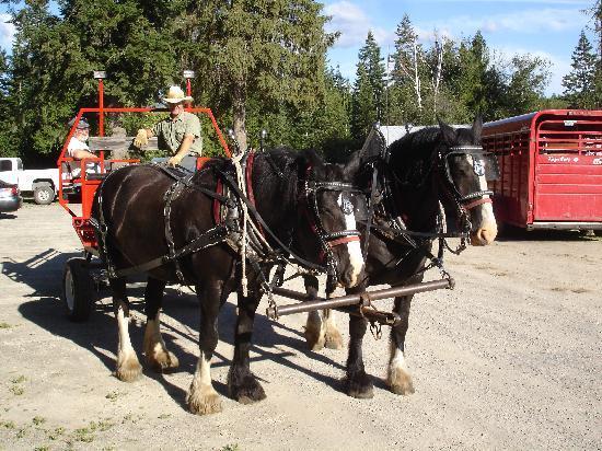 ويسترن بليجار جيست رانش: Western Pleasure Draft Horse Team