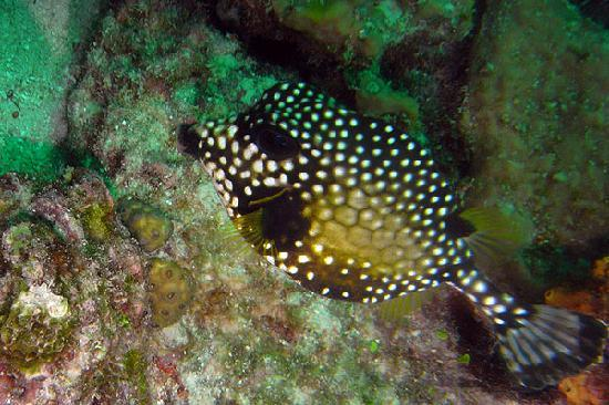 Barbados Blue: Many cool looking species like this Smooth Trunkfish