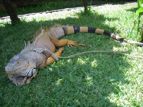El Zonte, Сальвадор: ペットのイグアナ