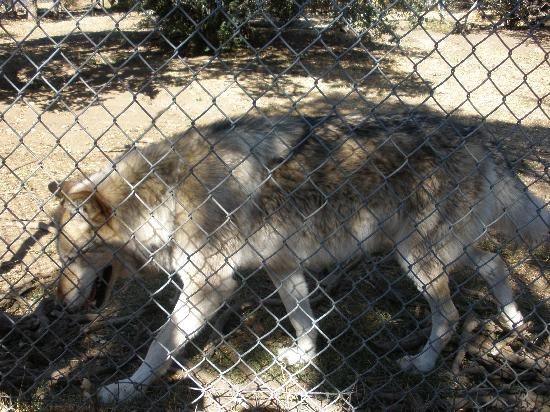 California Wolf Center: The piles of sticks were the wolves toys when young