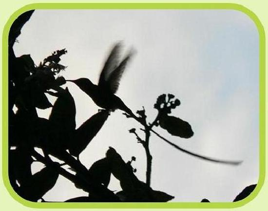La Casa Verde- Eco Guest House: one of the many hummingbirds around la casa verde