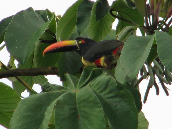 Punta Marenco Lodge: Toucan devant le bungalow