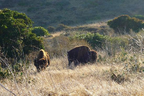 Banning House Lodge: American Bison grazing on hillside