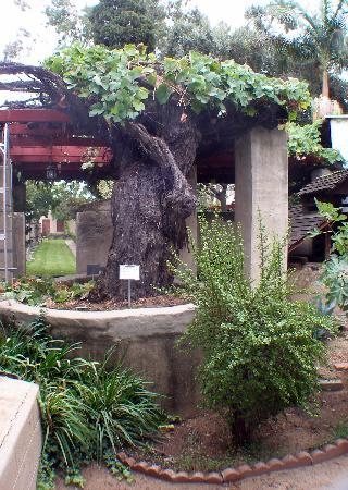 San Gabriel, Kaliforniya: Grape vine planted in 1771!