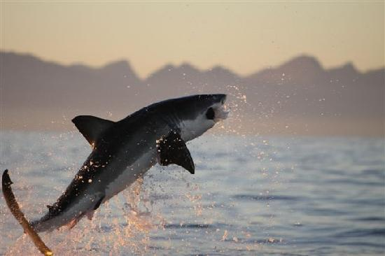 Breaching Great White in False Bay - Picture of African ...