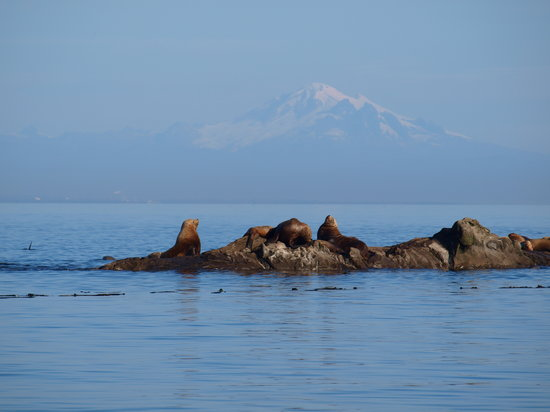 Wild Whales Vancouver : Those noisy sea lions with beautiful Mount Baker in background