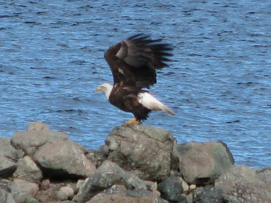 Bryden Manor B&B : Eagle taking off across the lake from Bryden Manor