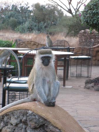 Amboseli Sopa Lodge: monkey outside restaurant