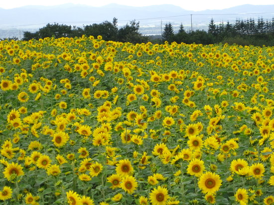 ‪Ozora-cho Sunflower Farm‬