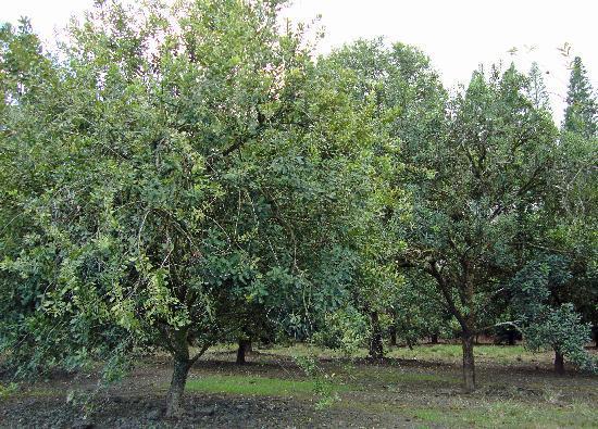 Things To Do In Modesto >> Macadamia nut trees near the factory - Picture of Mauna Loa, Keaau - TripAdvisor