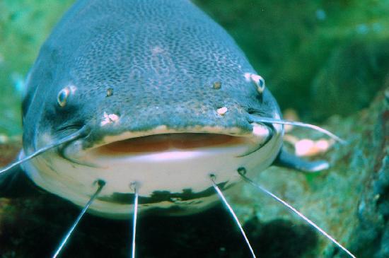 Fish picture of chiang mai zoo chiang mai tripadvisor for Mai mai fish