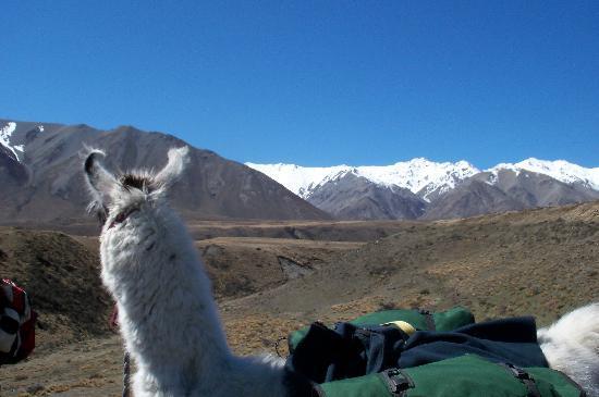 "Hunt/Fish New Zealand : ""My"" llama enjoys the view too!"