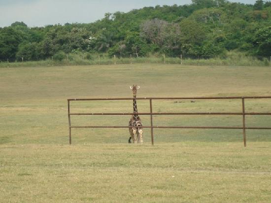 Veracruz, Messico: jirafa