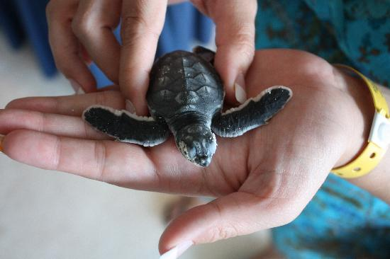 Sun Palace: one of the baby turtles