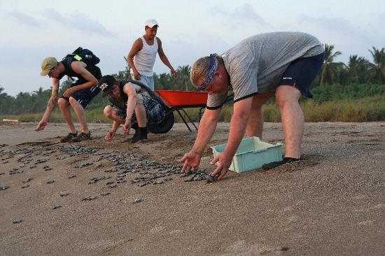 Playa Las Tortugas: releasing baby turtles
