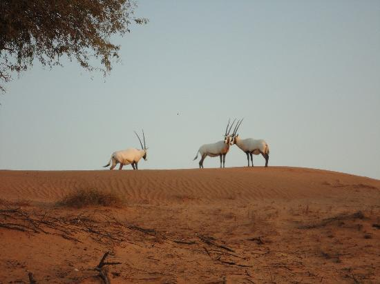 Banyan Tree Al Wadi: Oryx Antilopes