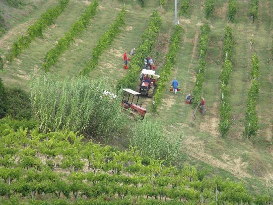 Agriturismo Torre Prima: Grape harvest