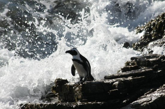 Cape Team Tours - Day Tours: Penguins at Betty's Bay