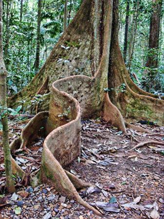 Maleny, ออสเตรเลีย: tree
