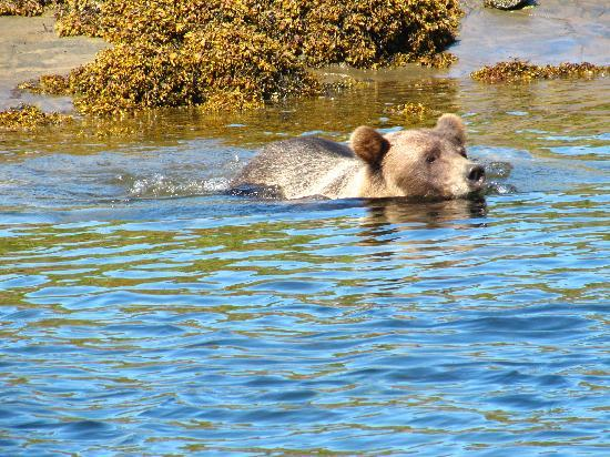 Khutzeymateen Grizzly Bear Sanctuary: Taking a dip