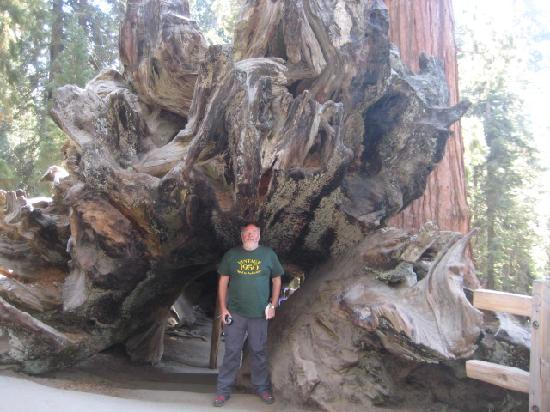 Best Western Visalia Hotel: Trunk of a Sequoia tree