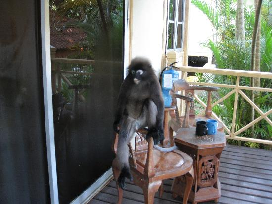 Langkawi, Malezya: Monkey sitting on our verandah chair