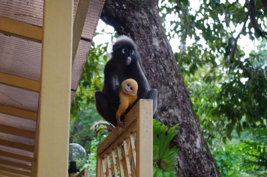 Langkawi, Malesia: Monkey mum and baby