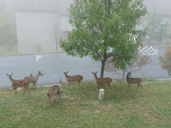 McGaheysville, VA: Family of deer under balcony