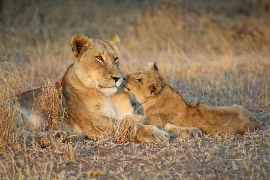 Shindzela Tented Camp: Lioness and cub at Shindzela