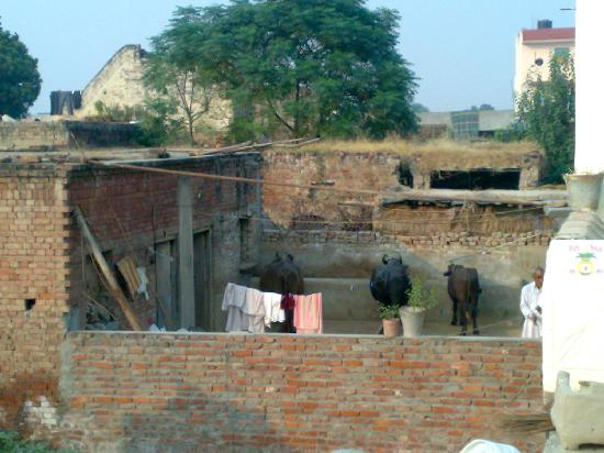 Hotel Pearl Marc: Village Buffaloes from roof top