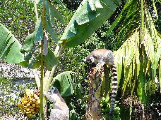 Doany Beach: Les lemuriens du parc national